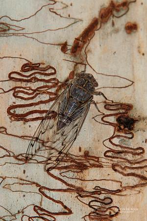 Cicada, Sheepstation Creek, Feb 2011
