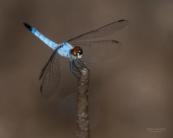 Dragonfly; Darwin, NT, Sept 2010
