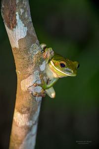 White-lipped Tree Frog, Julatten, QLD, Dec 2014-1