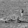 Black-backed Jackal & Nile Crocodile, b&w, Mashatu GR, Botwana, May 2017-1