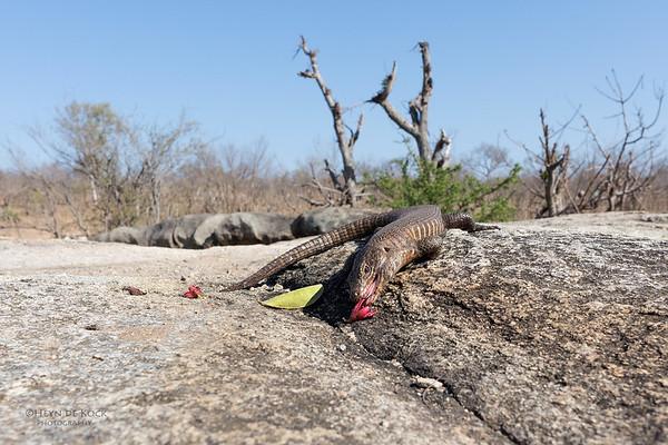 Giant Plated Lizard, Sabi Sands (EP), SA, Oct 2016-1