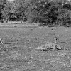 Black-backed Jackal & Nile Crocodile, b&w, Mashatu GR, Botwana, May 2017-2
