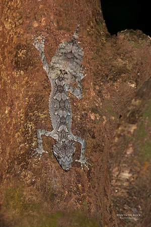 Northern Leaf-tailed Gecko, Julatten, QLD, Dec 2014-1