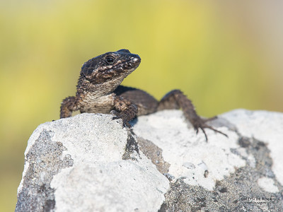 Black Gilded Lizard, Table Mountain NP, SA, Sept 2016-2