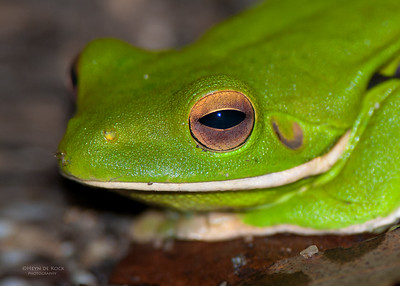 White-lipped Tree Frog, Julatten, QLD, Dec 2009