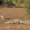 Black-backed Jackal & Nile Crocodile, Mashatu GR, Botwana, May 2017-4