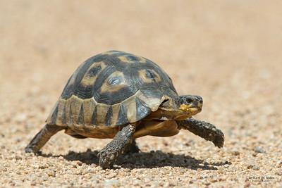 Angulate Tortoise, West Coast NP, WC, SA, Jan 2014 copy