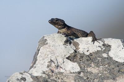 Black Gilded Lizard, Table Mountain NP, SA, Sept 2016-1