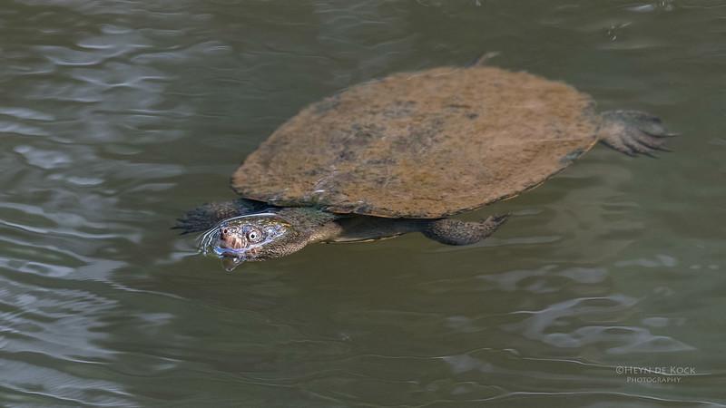 Saw-shelled Turtle, Eungella NP, QLD, Aus, Nov 2017-2