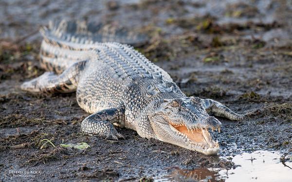 Saltwater Crocodile, Kakadu NP, NT, Oct 2010-3 copy