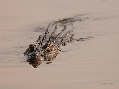 Saltwater Crocodile, Kakadu NP, NT, Oct 2010