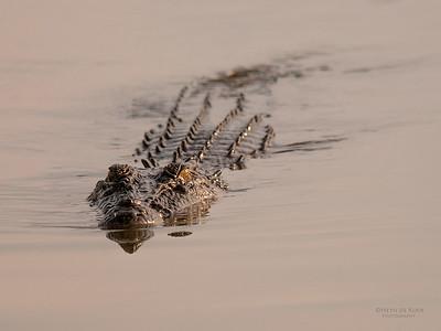 Saltwater Crocodile, Kakadu NP, NT, Oct 2010