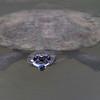 Saw-shelled Turtle, Eungella NP, QLD, Aus, Nov 2017-1