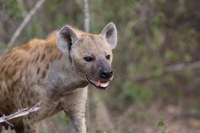 Spotted hyaena, female