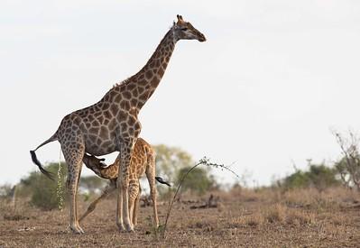 giraff, hona som gör två saker samtidigt...