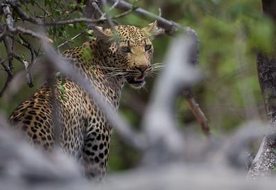 Leopard, female