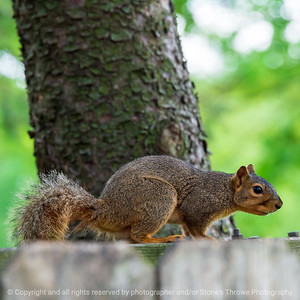 015-squirrel-ankeny-25may21-09x09-006-400-1599