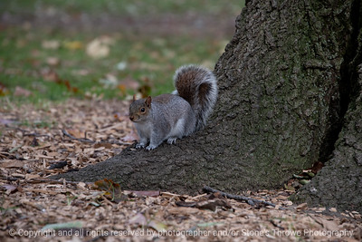 A squirrel pauses for the photographer in Washington Square, Philadelphia, Pa.