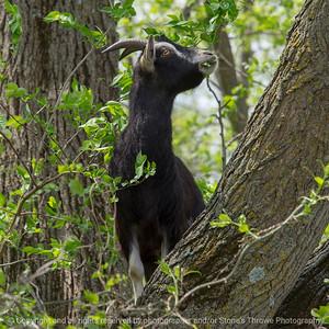 015-goat-wdsm-09may18-08x08-007-4494