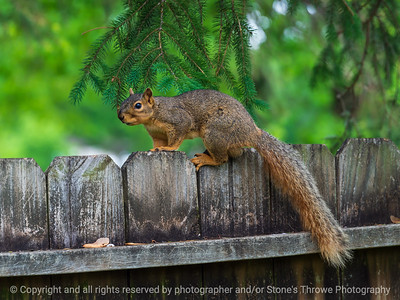 015-squirrel-ankeny-25may21-12x09-002-400-1592