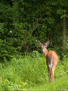 015-deer-wdsm-15jun13-1191