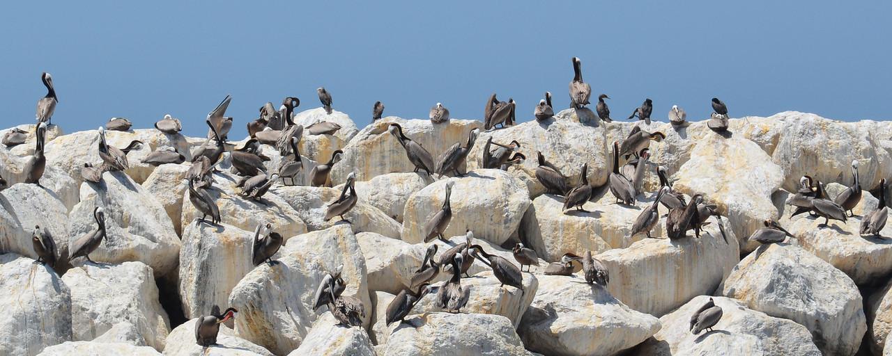 Pelicans back at Ventura Harbor