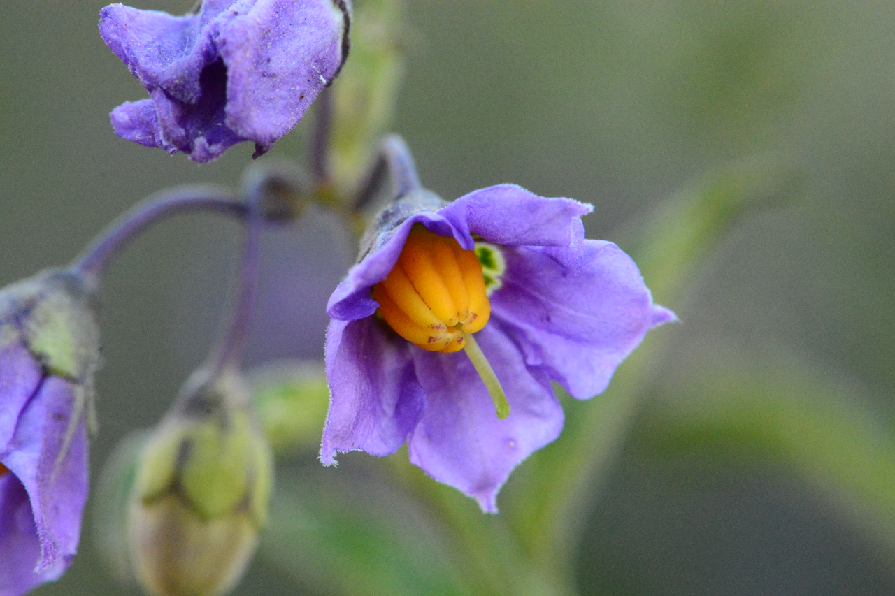 Chaparral nightshade