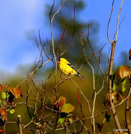 Western Goldfinch