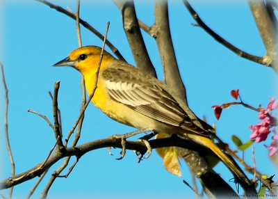 Female Bullock Oriole