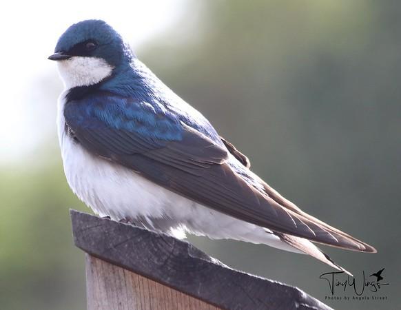 Western Tree Swallow