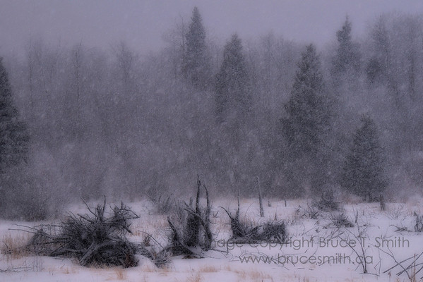 Forest and tree roots in a blizzard