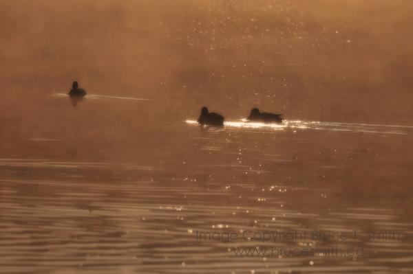 Ducks at Sunrise