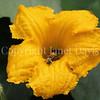Squash Bee in 'Marina di Chiogga' Squash Flower 2