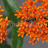 Leafcutter Bee on Butterfly Milkweed 1