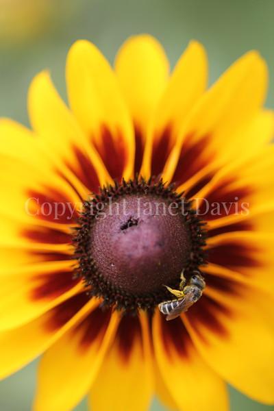 Halictid Bee on Blackeyed Susan