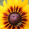 Halictid Bee on Blackeyed Susan