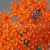 Leafcutter Bee on Butterfly Milkweed 2