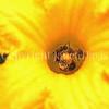 Squash Bees in 'Marina di Chiogga' Squash Flower 3