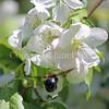 Eastern Carpenter Bee on 'Red Jade' Crabapple