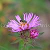 Metallic Green Sweat Bee on New England Aster 1