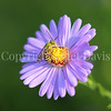 Bicolored Agapostemon on New England Aster