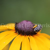 Long Horned Bee on Blackeyed Susan 2