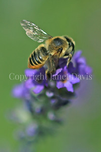 Broad-handed Leafcutter Bee on English Lavender