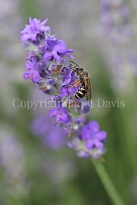 Sweat Bee on Lavandula angustifolia