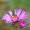 Metallic Green Sweat Bee on New England Aster 2