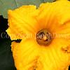Squash Bees in 'Marina di Chiogga' Squash Flower 1