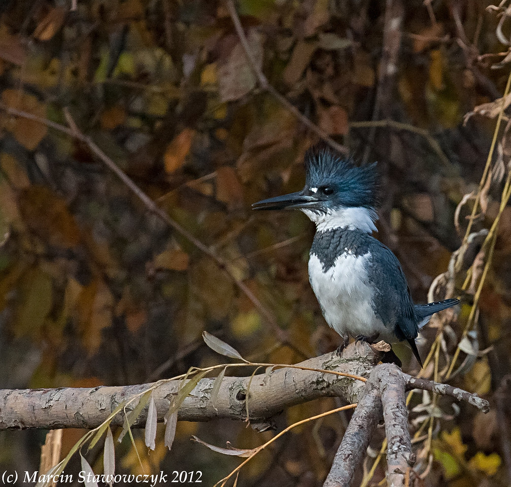 Kingfisher from the left