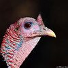 Turkey close-up