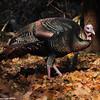 Turkey in the fall
