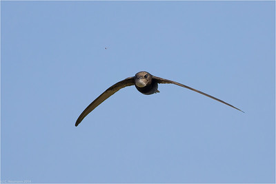 Common Swift (Apus apus) catching an insect